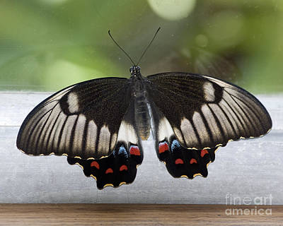 Butterfly Art Print by Steven Ralser