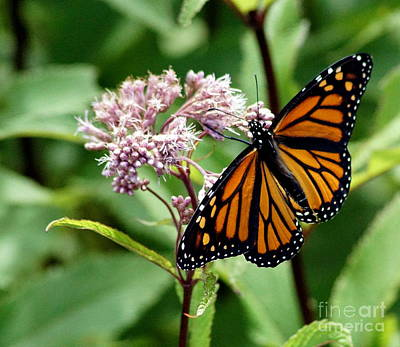 Butterlfy Photograph - Butterfly by Steven Woodard