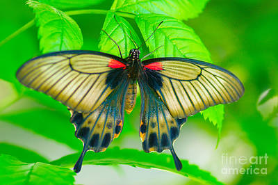 Butterfly Study #0064 Print by Floyd Menezes
