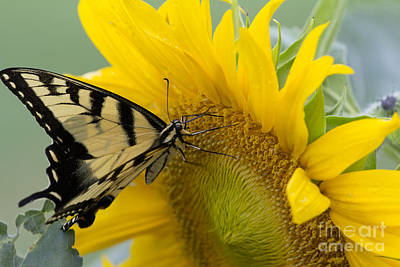 Photograph - Butterfly Sun by Cris Hayes