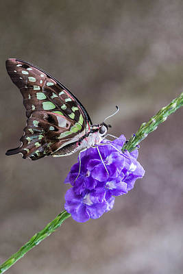 Butterfly - Tailed Jay I Art Print