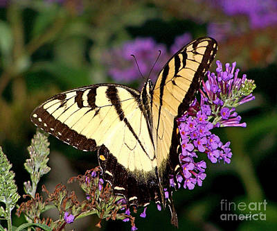 Butterfly Art Print by Timothy Clinch