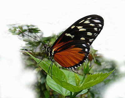 Photograph - Butterfly  by Tom Conway