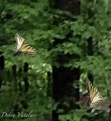 Photograph - Butterfly Waltz by Debra     Vatalaro