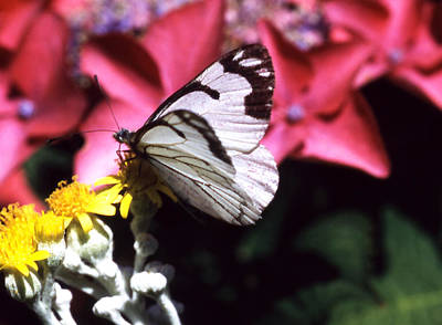 Photograph - Butterfly White And Black by Robert  Rodvik