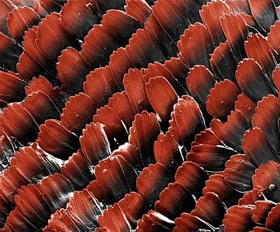 Butterfly Wing Scales Art Print by Clouds Hill Imaging Ltd