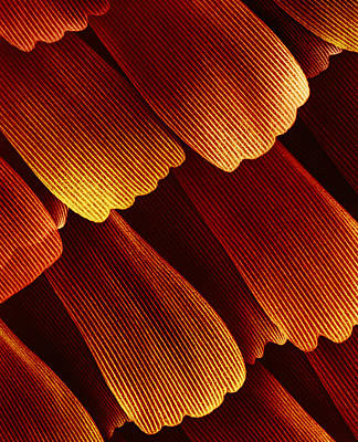 Photograph - Butterfly Wing Scales by Dee Breger