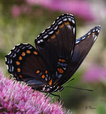 Photograph - Butterfly Wings by James C Thomas