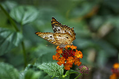 Art Print featuring the photograph Butterfly Wings Of Sun Light by Thomas Woolworth