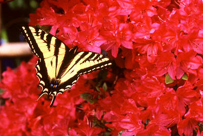 Photograph - Butterfly Yellow And Black On Red by Robert  Rodvik