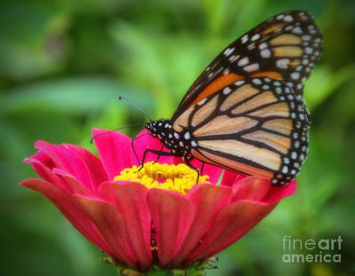 Photograph - Butterfly Zinnias by Elizabeth Winter