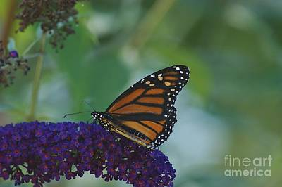 Photograph - Butterflybush by Christopher Mace