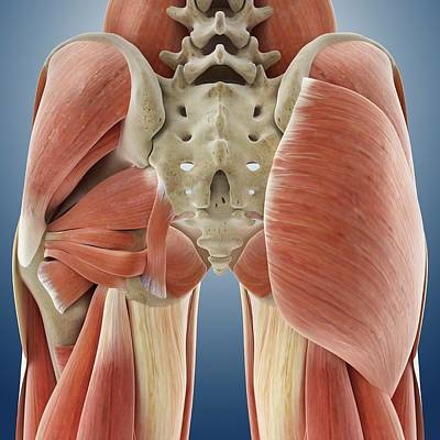Buttocks Photograph - Buttock Muscles by Springer Medizin