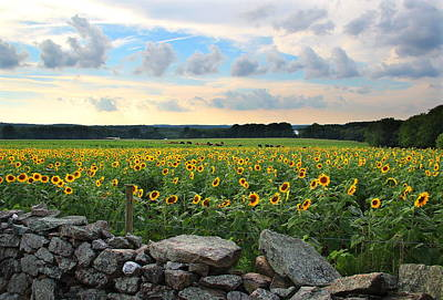 Buttonwood Farm Sunflowers Art Print by Andrea Galiffi