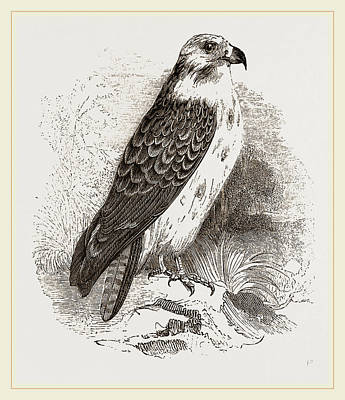 Buzzard Art Print by Litz Collection