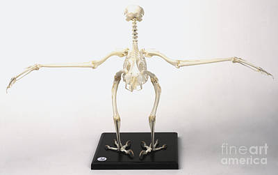 Bird Skeleton Photograph - Buzzard Skeleton by Steve Gorton / Dorling Kindersley
