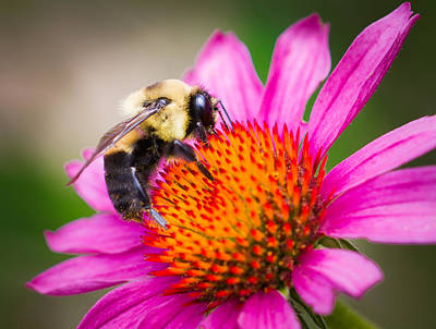 Bee On Flower Photograph - Buzzed In Eureka Springs by Annette Hugen