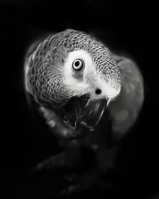Photograph - Bw Congo African Grey Kaja by Paulina Szajek