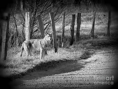 Photograph - Bw Coyote by Cynthia Mask