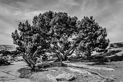 Bw Limber Pine Art Print