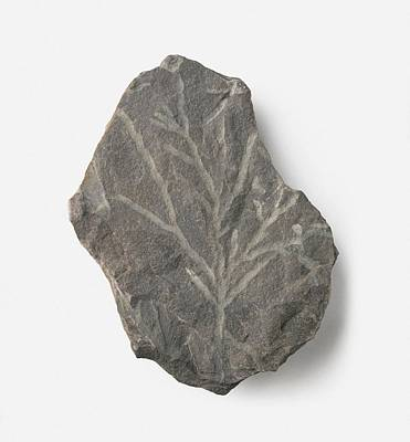 Single Object Photograph - Bythotrephis Plant Fossil by Dorling Kindersley/uig
