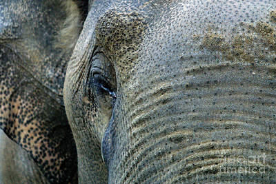 Photograph - C Ribet Elephant Brow by C Ribet