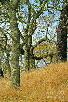 Photograph - C Ribet Oak Tree Art Napa Summer Hillside by C Ribet