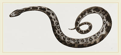 Burmese Python Drawing - C6—tiger-python by Litz Collection