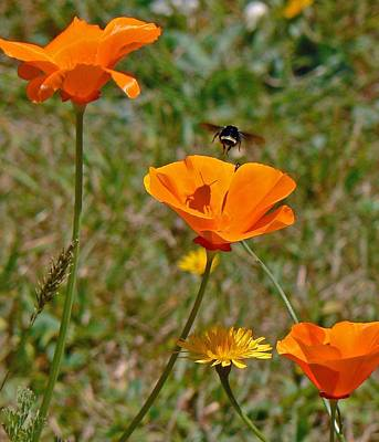 Photograph - Ca Poppies And Bee  by Gracia  Molloy