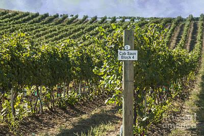 Photograph - Cab Sauv by Juli Scalzi