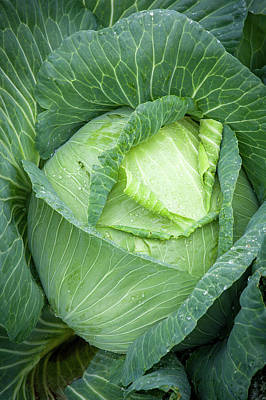 Brassica Oleracea Photograph - Cabbage Brassica Oleracea Covered by Edwin Remsberg