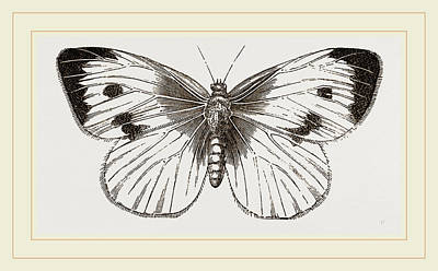 Cabbage Drawing - Cabbage-butterfly by Litz Collection