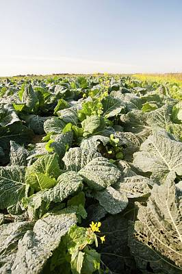 Production Photograph - Cabbage Growing On A Farm by Ashley Cooper