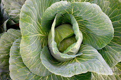 The Beatles - Cabbage by Jacqueline Athmann