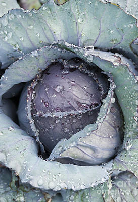 Red Cabbage Photograph - Cabbage by John Greim