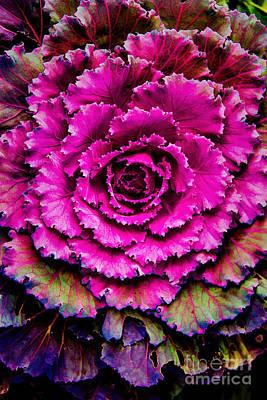 Cabbage Art Print by Jon Burch Photography