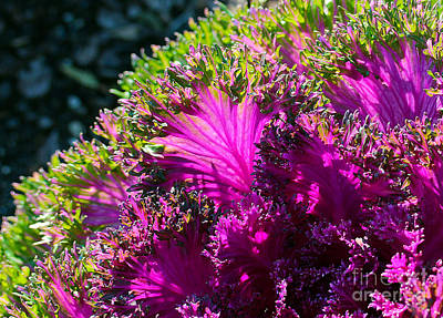 Photograph - Cabbage by Judi Bagwell