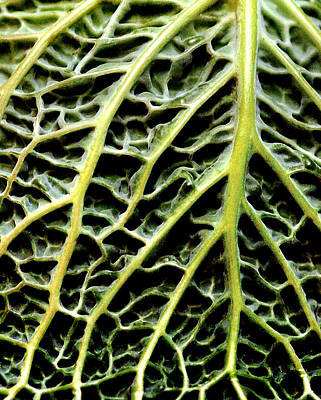 Winter Animals - Cabbage Leaf by Andrew Bellis