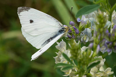 Photograph - Cabbage Moth by Michele Wright