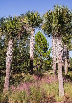 Swamp Cabbage Photograph - Cabbage Palm by Zina Stromberg