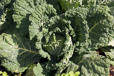 Brassica Oleracea Photograph - Cabbage 'primo' by Adrian Thomas