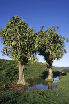 Cabbage Tree Pair New Zealand Art Print by Tui De Roy
