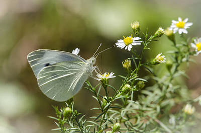 Photograph - Cabbage White Butterfly 2 by Bradley Clay