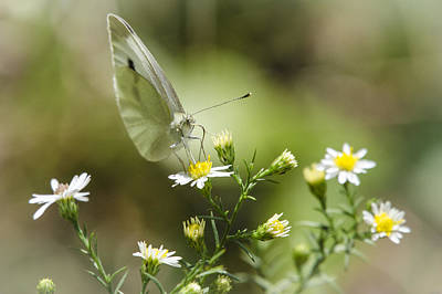 Photograph - Cabbage White Butterfly by Bradley Clay
