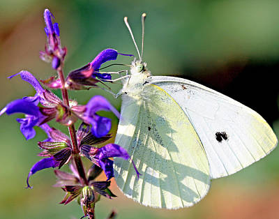 Photograph - Cabbage White Butterfly by Brian Magnier