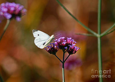 Photograph - Cabbage White Butterfly In Fall by Karen Adams