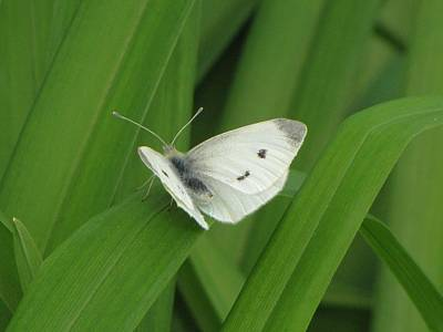 Photograph - Cabbage White Butterfly by MTBobbins Photography