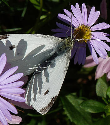 Photograph - Cabbage White In Shadow by Margaret Saheed