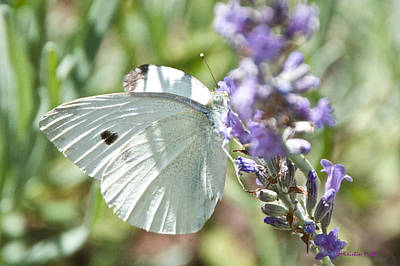 Photograph - Cabbage White On Lavender  by Kristin Hatt