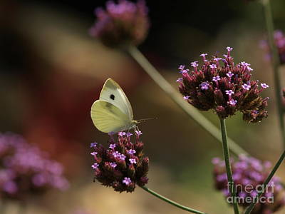 Cabbage White On Purpletop Vervain Art Print by Anna Lisa Yoder